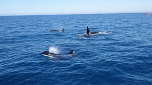 Orcas danificam seis veleiros ao largo da costa portuguesa