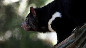 Nasceram os primeiros diabos-da-tasmânia em estado selvagem. Há 3 mil anos que não acontecia