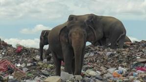 Dezenas de elefantes procuram alimentos em aterro sanitário no Sri Lanka