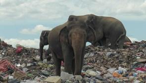 Elefantes procuram comida em aterro sanitário no Sri Lanka