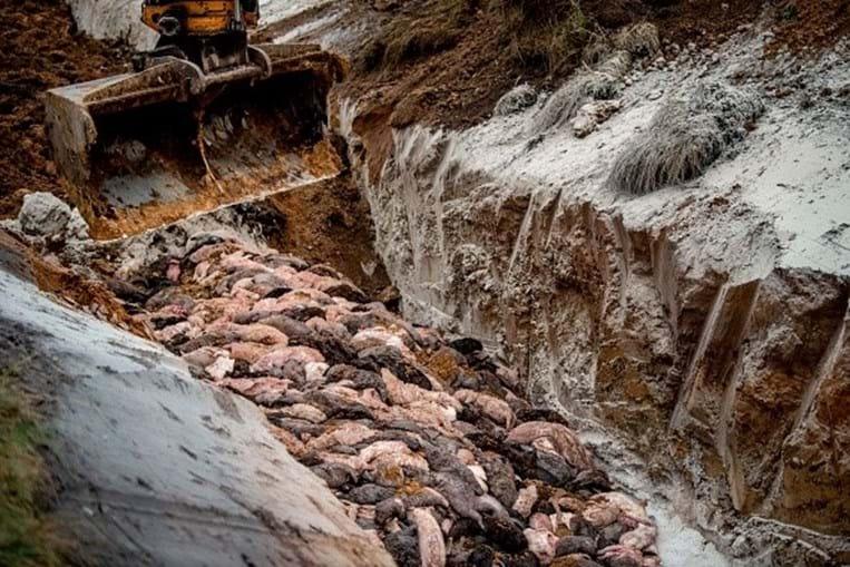 Milhões de visons despejados em vala comum na Dinamarca por receio de transmitirem Covid-19