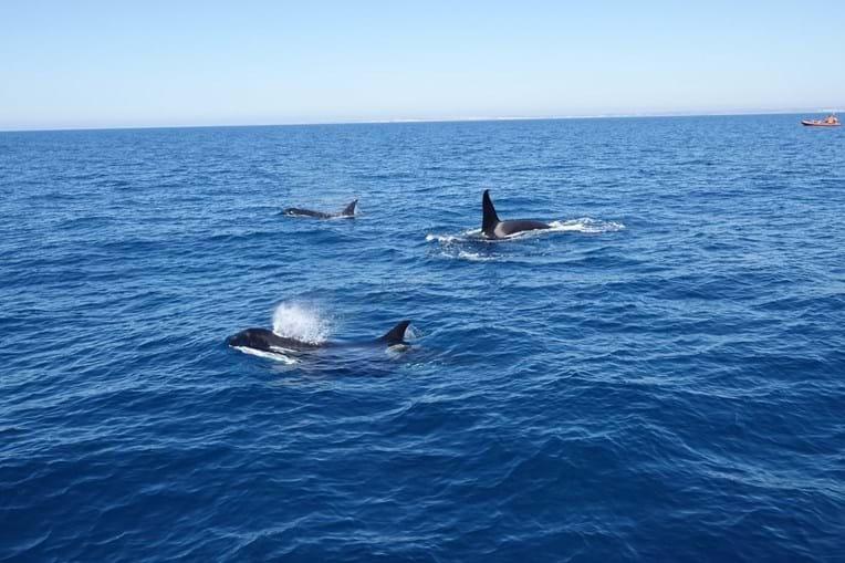 Três orcas juvenis fotografadas na costa algarvia