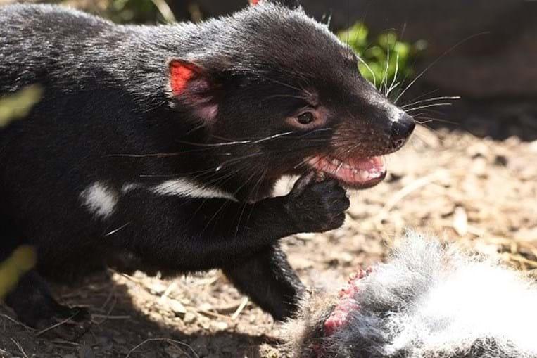 Diabos da Tasmânia