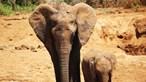 Autoridades chinesas tentam afastar quinze elefantes selvagens de zonas povoadas