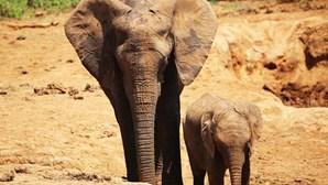 Angola começou a monitorizar migração de elefantes no Parque do Luengue