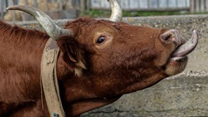 """Em vias de extinção, vaca algarvia é """"salva"""" por projeto de recuperação"""