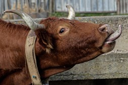 Vaca de raça algarvia em exploração agrícola em Vila do Bispo