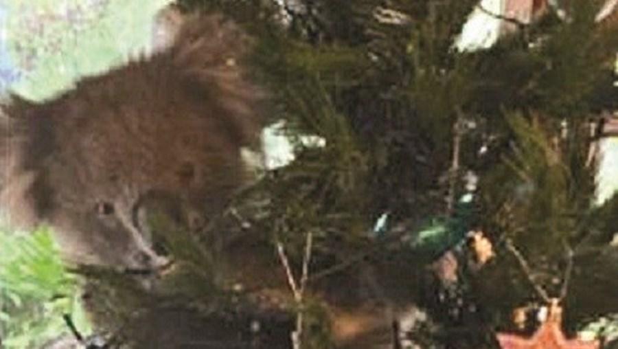 Família australiana encontra coala pendurado na árvore de Natal
