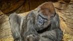 Gorilas vacinados contra a Covid-19 no zoológico de San Diego