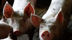 Gang rouba 55 galos e um porco em Odivelas