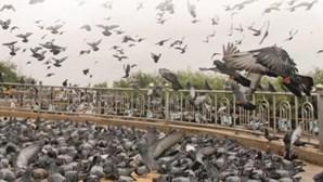 Columbofilia: Pombos-correio de milhões de euros