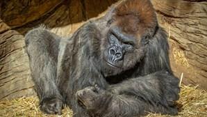 Gorilas do zoo da Califórnia infetados com Covid-19