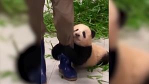 Vídeo de panda bebé a tentar trepar a perna do tratador derrete a Internet