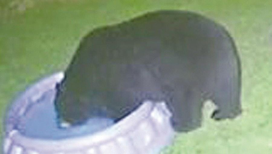Urso refresca-se  em piscina de crianças
