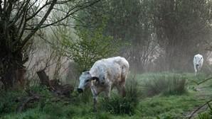 """Facebook pune fotografia com vacas a pastar por ser conteúdo """"demasiado sensual"""""""