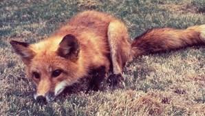 """Salvou uma raposa e ganhou companhia diária ao jantar. Conheça a história de Fernando e """"Linda"""""""