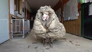 Ovelha perdida há vários anos acumula 35 quilos de lã
