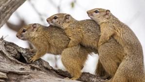 Sexo a três? Esquilos apanhados em flagrante