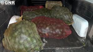 Homem detido pela GNR por furto de 500 quilos de abacate