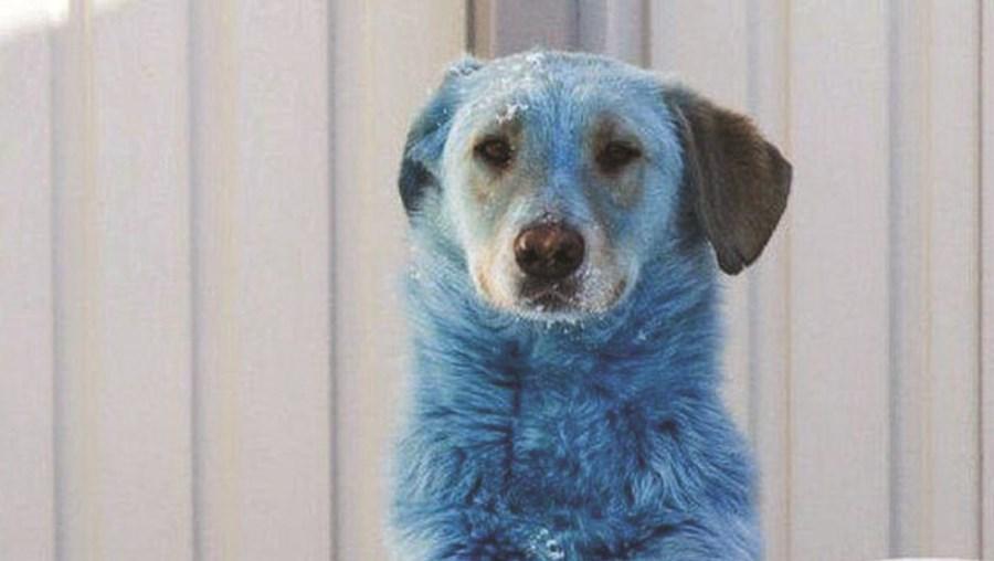Cães azuis surpreendem população