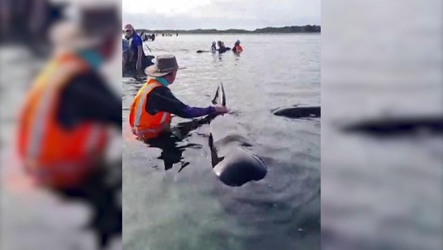 Voluntários prestam auxílio a baleias encalhadas na Nova Zelândia