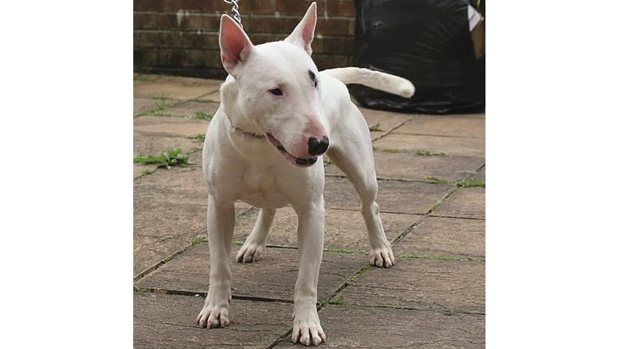 Cão é da raça Bull Terrier