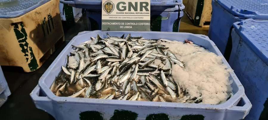GNR apreende quase cinco toneladas de sardinha em Sesimbra