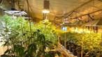 GNR desmantela grande plantação de canábis em Coruche e prende três suspeitos