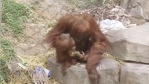 Orangotango-de-sumatra nasce em zoo de Nova Orleães