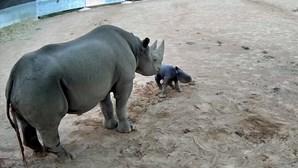 Rinoceronte de espécie ameaçada nasce em zoo na Austrália