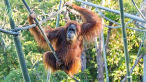 Primatas estão a ser vacinados contra a Covid-19 no jardim zoológico de San Diego