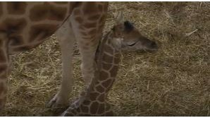 Cria de girafa nasce no Badoca Park