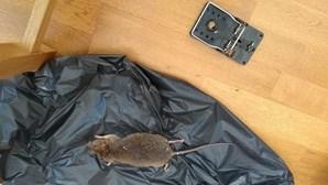 Pragas de ratos invadem casas e ruas de Londres confinada