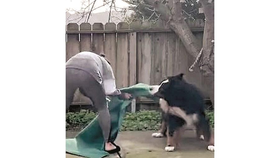 Cão irrequieto desconcentra a dona e rouba tapete