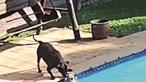 Cão tira amigo da piscina
