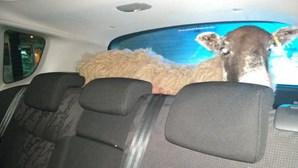 Apanhados a passar sinal vermelho levavam ovelha no porta-bagagens