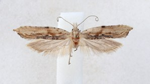 Investigadores descobrem nova espécie de borboleta noturna no alentejo em risco de extinção