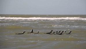 Pinguins-de-Magalhães regressam ao mar após receberem cuidados médicos