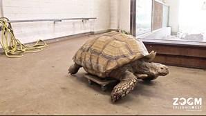 Tartaruga com 23 anos desloca-se em 'cadeira de rodas'