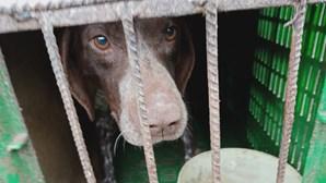Proprietária de dois canis em Gouveia acusada de maus tratos a animais de companhia