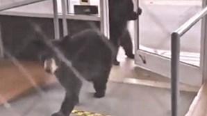 Ursos apanhados a invadir lar de idosos nos EUA