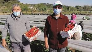 Pandemia não trava comércio do morango em Mirandela