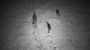 Família de jaguares libertada na selva da Argentina