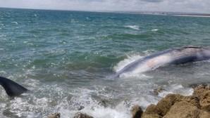 Baleia que encalhou no Algarve rebocada para zona segura