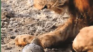 Afinal, quem é que manda na selva? Tartaruga enfrenta leões
