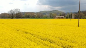 Explosão de amarelo nos campos da região italiana da Úmbria