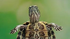 Tartaruga 'voadora' atinge passageiro de carro