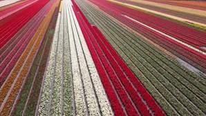 Jardim de tulipas mais famoso do mundo já está florido...mas só pode ser visitado online