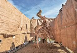 'Resgate de girafas no Quénia', Ami Vitale (1º lugar Natureza)