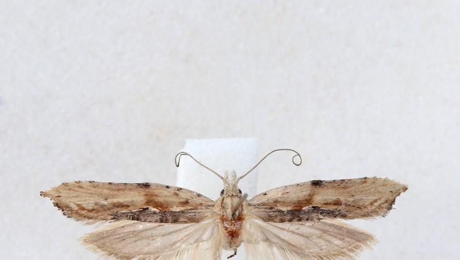 'Ypsolopha milfontensis'
